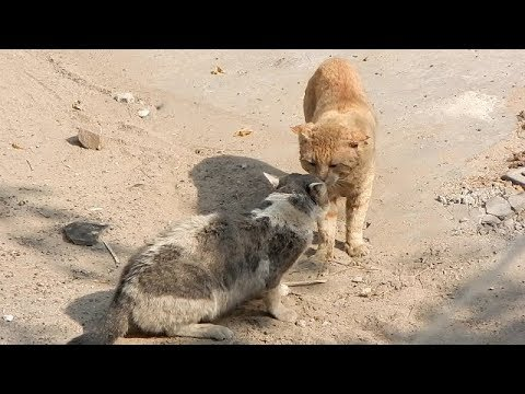 BIG FAT CATS FIGHT  |  Unstoppable Fight!!!