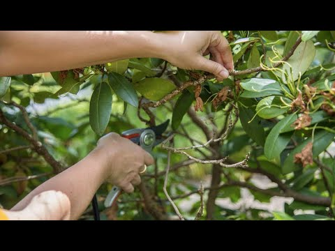 Rhododendron care pruning doovi for How to care for rhododendrons after blooming