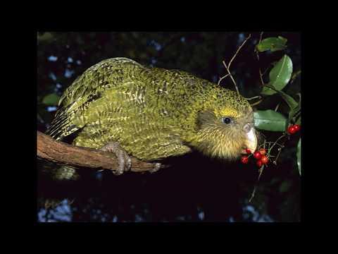 Papagalul kakapo - Episodul 5 Strigops habroptilus