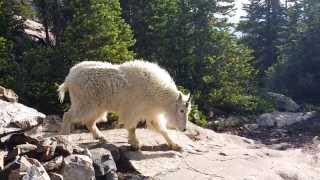 "Close Mountain Goat Encounter - Blue River, Colorado - ""Other way, bro."""
