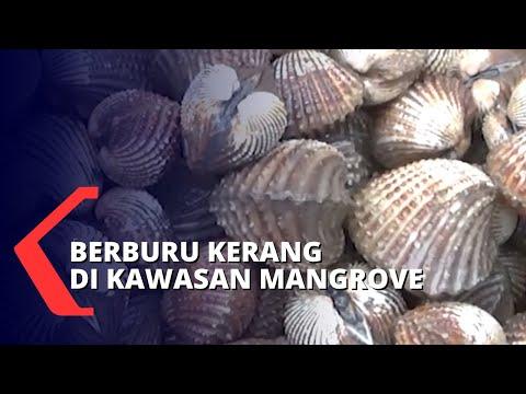 Warga Mencari Kerang Di Kawasan Hutan Mangrove