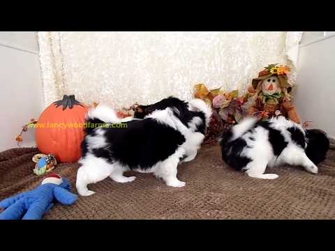 Japanese Chin litter 11 03 18