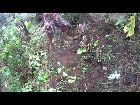Fiji Trip 2011 Sam and Sakeo harvesting kava