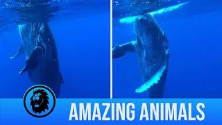 Whale Calf Dances With Diver