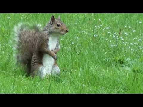 Squirrels in HD in Victora Park Kitchener Ontario Canada (Melanistic Eastern Grey Squirrel,
