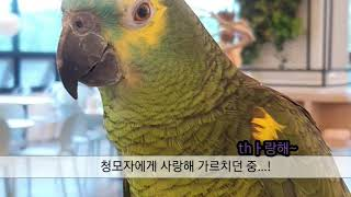 앵무새 재채기 모음 / parrot sneeze com…