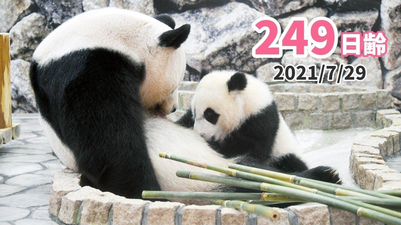 【パンダの赤ちゃん(楓浜)】仲良くミルクタイム!と思いきや(249日齢)