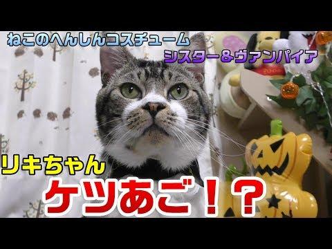 悲報wリキちゃんの顔がデカくてケツあごなの判明wねこのへんしんコスチュームガチャの首輪が見えない事件w【リキちゃんねる 猫動画】Cat video キジトラ猫との暮らし