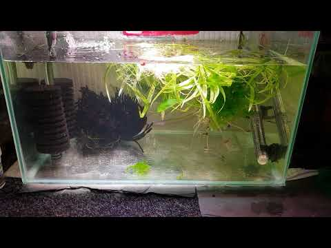 HOW TO BREED PYGMY CORYDORAS