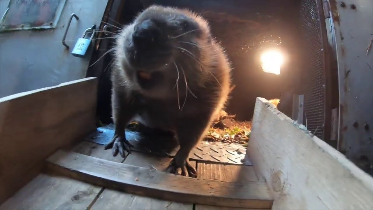 Maple The Beaver Goes For Takeout