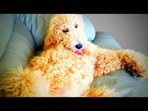 Funny Poodles 🐩 Cute Fluffy Poodles Playing (Part 1) [Funny Pets]