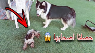 ردة فعل كلابي لما شافوا الكلبه الصغيره !! وايش سالفه اصحابها !؟