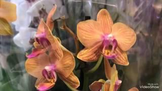 Уцененные Орхидеи и другие цветы в магазине Оби. Какой цветочек я купила?