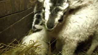 Czworaczki u kozy