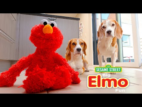 Funny Dog Vs ELMO : Cute Beagle Dog Marie