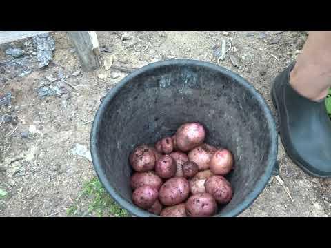 жуковский картофель, как очистить руки от ягод дача под Архангельском