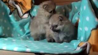Pomeranian Zwergspitz Welpen . !!! 5 Wochen Alt