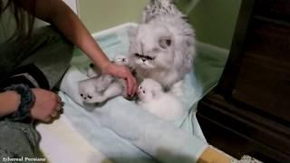 Nebbys 3 weeks old Persian Kittens