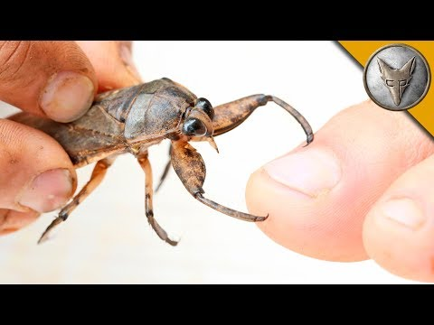 Thumbnail: BITTEN by a GIANT WATER BUG!