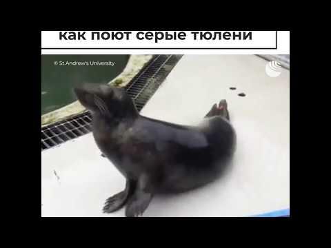 Поющие серые тюлени