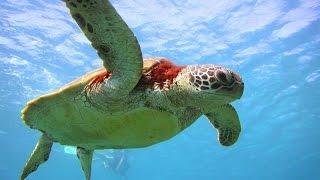 Черепахи в Средиземном море. ( Кипр, Пафос)(Приятного просмотра! ( В следующем видео качество съёмки будет лучше. Первый раз под водой снимал), 2015-07-26T19:51:32.000Z)