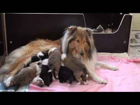 ROUGH COLLIE PUPPYS 3 WEEKS OLD