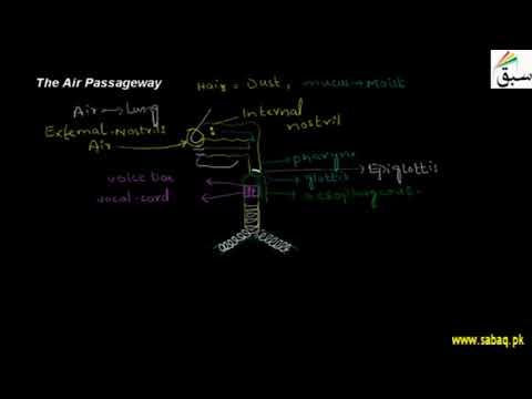 The Air Passageway | Biology Chap 10 | 10th Class | Punjab Board