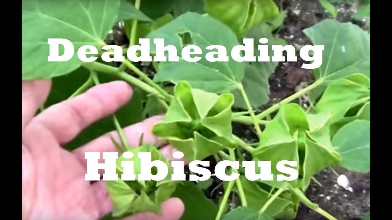 Deadheading Hardy Hibiscus For More Flowers Youtube
