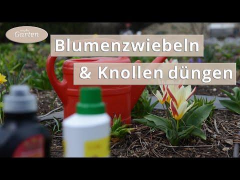 Zwiebel- Und Knollenpflanzen Düngen | MDR Garten