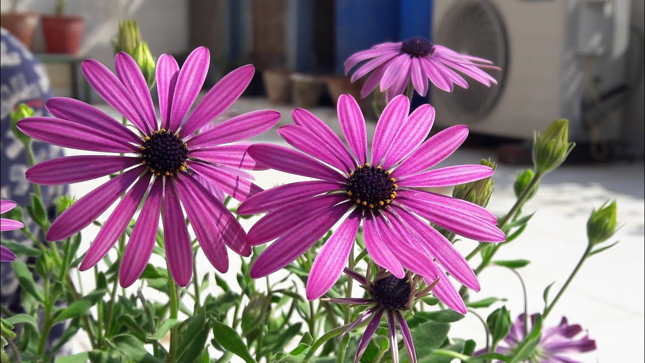 How To Grow And Care African Daisy Cape Marigold Dimorphotheca