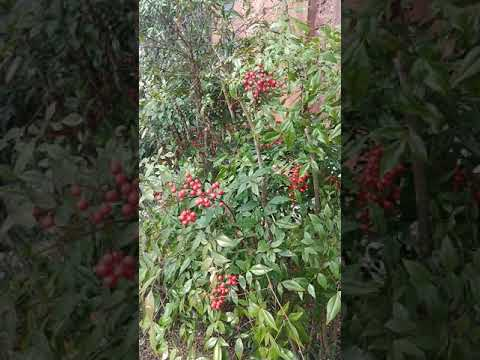 Watershed Stewardship - Nandina Management - Do It For The Birds!