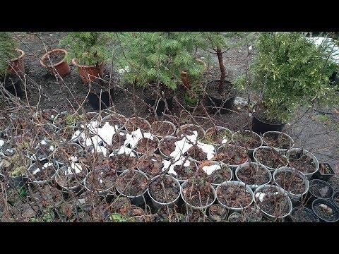 Вопрос: Как из косточки вырастить плодоносящий кустарник кизила?