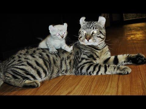 White Exotic Hybrid Kittens 2015 Rare
