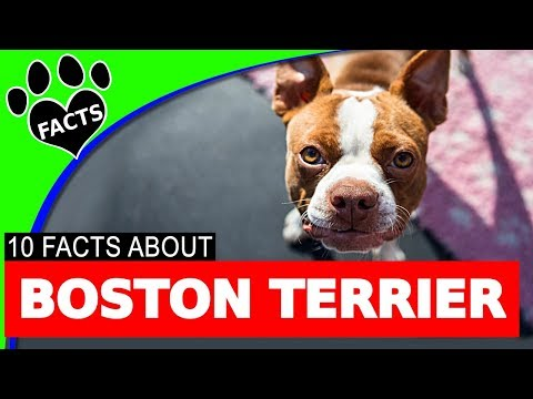 Boston Terrier Dogs 101 Fun Facts Information Most Popular Dog Breeds - Animal Facts