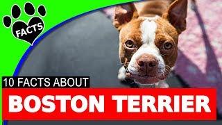 Boston Terrier Dogs 101 Fun Facts Information #bostonterrier #dog