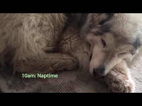 A day in the life of my senior Alaskan Malamute!