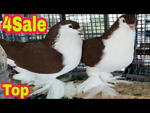 Red Lahore Pigeon Top Class Breeding Pair 4sale  9 June 2020