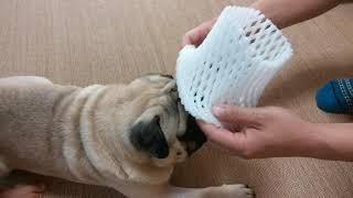 パグ犬ムゥに,フルーツの網を被せる動画です。ムゥちゃんは,とても嫌が...