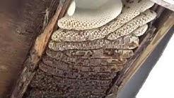 Huge honey bee removal from garage in Metairie, La