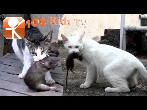Sound of Cats to scare the Rats