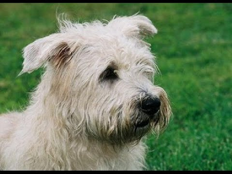 Irish Glen of Imaal Terrier (Glen of Imaal Terrier) - Dog Breed