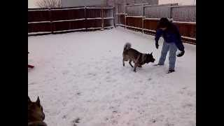 2012 White Christmas In Texas With Akita & Siberian Husky