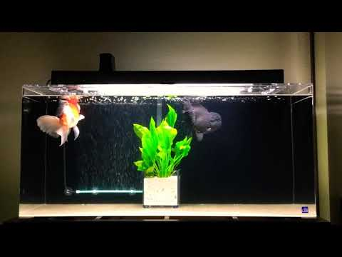 30 Gallon Oranda Goldfish Tank