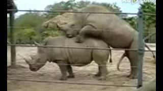 animal sex. গন্ডারের চুদাচুদি।