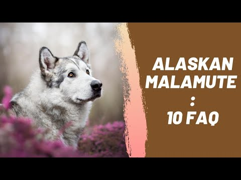 Alaskan Malamute : 10 Most Common Questions