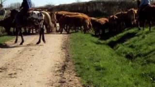 convoi de bétail à CERILLY (03)
