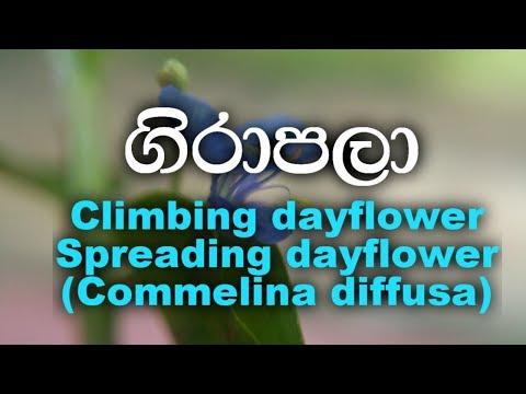 Girapala- Climbing dayflower,Spreading dayflower - Commelina diffusa
