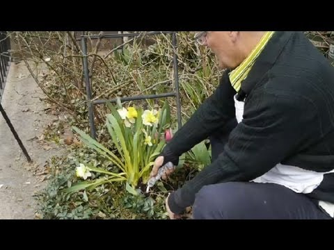 How to lift store tulip bulbs tulips daffodils more youtube youtube premium mightylinksfo