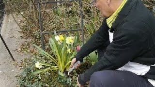 How to Lift & Store Tulip Bulbs : Tulips, Daffodils & More