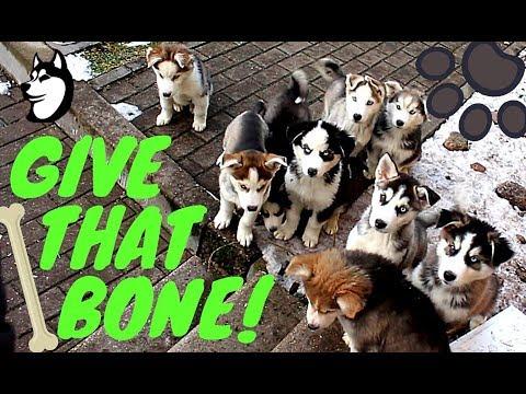 Siberian Husky Puppies: Eating Habits - Training (10 weeks old)